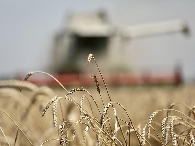 В Краснодарском крае урожай зерновых колосовых и зернобобовых превысил 5,5 млн. тонн