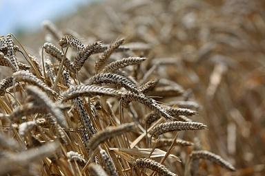 В России собрано порядка 35 млн тонн зерна