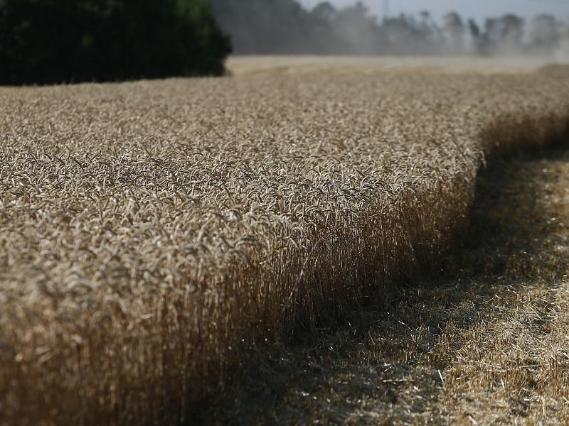 На Кубани собрали рекордный за последние десять лет урожай озимого ячменя